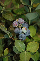 Peach Sorbet® Blueberry (Vaccinium 'ZF06-043') at Highland Avenue Greenhouse