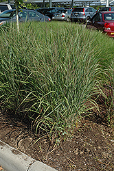 Ruby Ribbons Switch Grass (Panicum virgatum 'Ruby Ribbons') at Highland Avenue Greenhouse