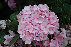 All Summer Beauty Hydrangea (Hydrangea macrophylla 'All Summer Beauty') at Highland Avenue Greenhouse