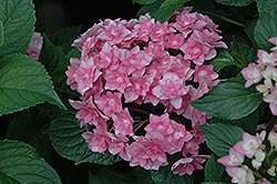 Expression Hydrangea (Hydrangea macrophylla 'Rie 06') at Highland Avenue Greenhouse