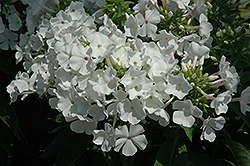 White Flame Garden Phlox (Phlox paniculata 'White Flame') at Highland Avenue Greenhouse