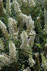 Buzz Ivory Butterfly Bush (Buddleia 'Tobuivo') at Highland Avenue Greenhouse