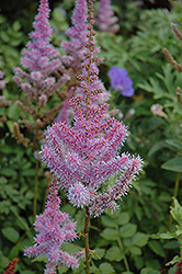 Purple Candles Astilbe (Astilbe chinensis 'Purple Candles') at Highland Avenue Greenhouse
