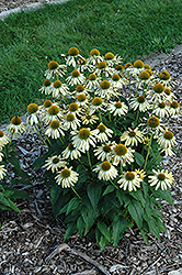 Sombrero® Sandy Yellow Coneflower (Echinacea 'Balsomselo') at Highland Avenue Greenhouse