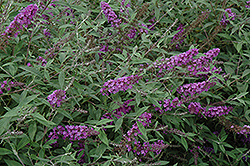 Flutterby Petite® Dark Pink Butterfly Bush (Buddleia davidii 'Podaras 10') at Highland Avenue Greenhouse