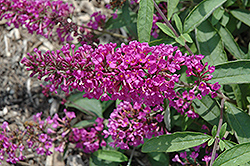 Flutterby Petite® Tutti Fruitti Pink Butterfly Bush (Buddleia davidii 'Podaras 13') at Highland Avenue Greenhouse