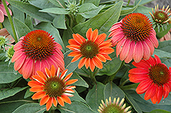 Sombrero® Hot Coral Coneflower (Echinacea 'Balsomcor') at Highland Avenue Greenhouse