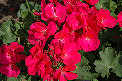 Survivor Fuchsia Geranium (Pelargonium 'Survivor Fuchsia') at Highland Avenue Greenhouse