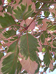 Tricolor Beech (Fagus sylvatica 'Tricolor') at Highland Avenue Greenhouse