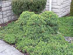 Dwarf Japgarden Juniper (Juniperus procumbens 'Nana') at Highland Avenue Greenhouse