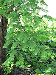 Dawn Redwood (Metasequoia glyptostroboides) at Highland Avenue Greenhouse