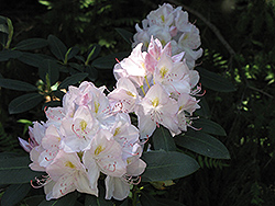 White Catawba Rhododendron (Rhododendron catawbiense 'Album') at Highland Avenue Greenhouse