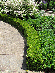 Green Velvet Boxwood (Buxus 'Green Velvet') at Highland Avenue Greenhouse