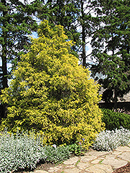 Golden Threadleaf Falsecypress (Chamaecyparis pisifera 'Filifera Aurea') at Highland Avenue Greenhouse