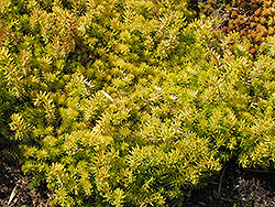Angelina Stonecrop (Sedum rupestre 'Angelina') at Highland Avenue Greenhouse