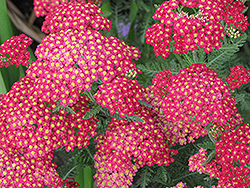 Paprika Yarrow (Achillea millefolium 'Paprika') at Highland Avenue Greenhouse