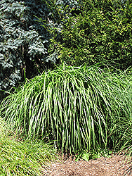 Malepartus Maiden Grass (Miscanthus sinensis 'Malepartus') at Highland Avenue Greenhouse