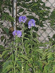 Autumn Monkshood (Aconitum carmichaelii 'Arendsii') at Highland Avenue Greenhouse
