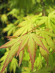 Orange Dream Japanese Maple (Acer palmatum 'Orange Dream') at Highland Avenue Greenhouse