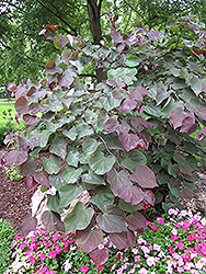 Forest Pansy Redbud (Cercis canadensis 'Forest Pansy') at Highland Avenue Greenhouse