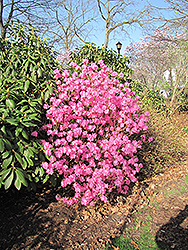 Landmark Rhododendron (Rhododendron 'Landmark') at Highland Avenue Greenhouse