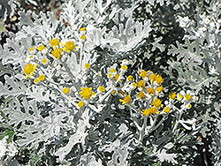 Silver Dust Dusty Miller (Senecio cineraria 'Silver Dust') at Highland Avenue Greenhouse