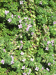 Pink Chintz Creeping Thyme (Thymus praecox 'Pink Chintz') at Highland Avenue Greenhouse
