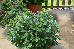 Low Scape® Mound Aronia (Aronia melanocarpa 'UCONNAM165') at Highland Avenue Greenhouse