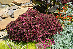 ColorBlaze® Kingswood Torch Coleus (Solenostemon scutellarioides 'Kingswood Torch') at Highland Avenue Greenhouse