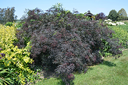 Black Lace® Elder (Sambucus nigra 'Eva') at Highland Avenue Greenhouse