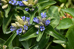 Blue Cross Gentian (Gentiana cruciata 'Blue Cross') at Highland Avenue Greenhouse