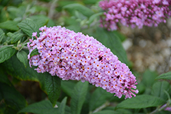 Pugster® Pink Butterfly Bush (Buddleia 'SMNBDPT') at Highland Avenue Greenhouse