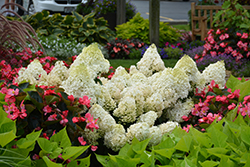 Little Lime® Hydrangea (Hydrangea paniculata 'Jane') at Highland Avenue Greenhouse