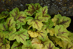 Fun and Games® Eye Spy Foamy Bells (Heucherella 'Eye Spy') at Highland Avenue Greenhouse