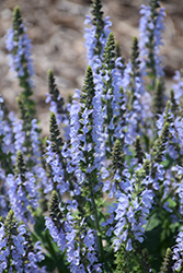 Color Spires® Crystal Blue Sage (Salvia nemorosa 'Crystal Blue') at Highland Avenue Greenhouse