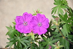 New Hampshire Purple Cranesbill (Geranium sanguineum 'New Hampshire Purple') at Highland Avenue Greenhouse