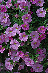 Aloha Kona Soft Pink Calibrachoa (Calibrachoa 'Aloha Kona Soft Pink') at Highland Avenue Greenhouse
