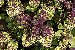 Fishnet Stockings Coleus (Solenostemon scutellarioides 'Fishnet Stockings') at Highland Avenue Greenhouse