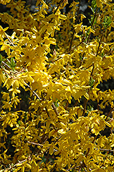 Lynwood Gold Forsythia (Forsythia x intermedia 'Lynwood Gold') at Highland Avenue Greenhouse