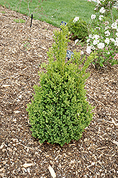 Green Mountain Boxwood (Buxus 'Green Mountain') at Highland Avenue Greenhouse