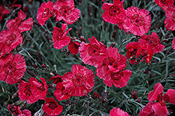 Eastern Star Pinks (Dianthus 'Red Dwarf') at Highland Avenue Greenhouse