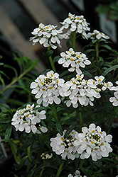 Tahoe Candytuft (Iberis sempervirens 'Tahoe') at Highland Avenue Greenhouse