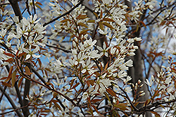 Autumn Brilliance Serviceberry (Amelanchier x grandiflora 'Autumn Brilliance (tree form)') at Highland Avenue Greenhouse