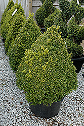Green Mountain Boxwood (pyramid form) (Buxus 'Green Mountain (pyramid)') at Highland Avenue Greenhouse