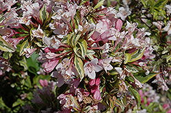 Rainbow Sensation® Weigela (Weigela florida 'Kolmagira') at Highland Avenue Greenhouse
