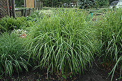 Porcupine Grass (Miscanthus sinensis 'Strictus') at Highland Avenue Greenhouse