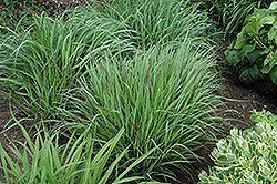 Cheyenne Sky Switch Grass (Panicum virgatum 'Cheyenne Sky') at Highland Avenue Greenhouse