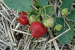 Everest Strawberry (Fragaria 'Everest') at Highland Avenue Greenhouse