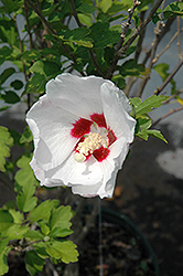 Red Heart Rose Of Sharon (Hibiscus syriacus 'Red Heart') at Highland Avenue Greenhouse