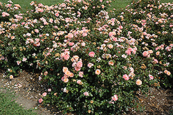 Apricot Drift® Rose (Rosa 'Meimirrote') at Highland Avenue Greenhouse